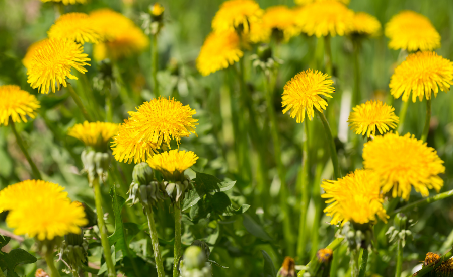 An image of dandelions is shown.