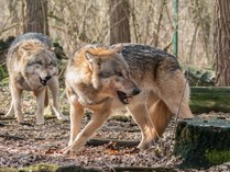 wolfff