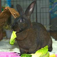 Minerva Rabbit