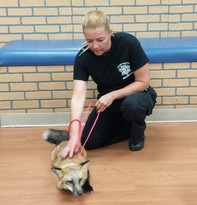 Officer Barb with red fox