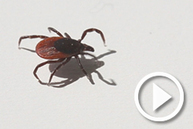 Tick removal
