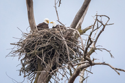 LCFPD bald eagles