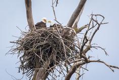 LCFPD bald eagles
