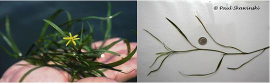 waterstargrass