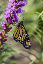 LCFPD monarchs