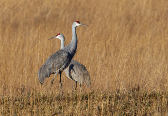 Two sandhill cranes in a field at Goose Pond Fish & Wildlife Area