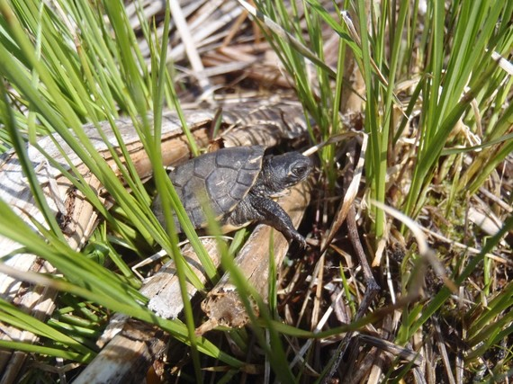 A hatchling state-endangered Blanding's turtle makes its way towards a wetland.