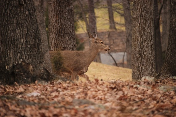 Doe in the fall forest