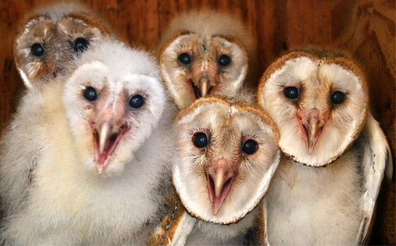 Bunch of young barn owls