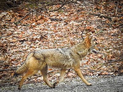 Coyote in woods