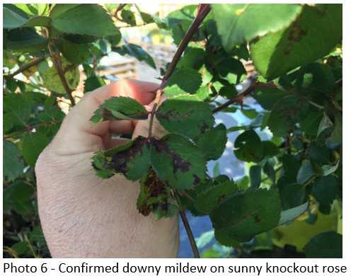 mildew on rose