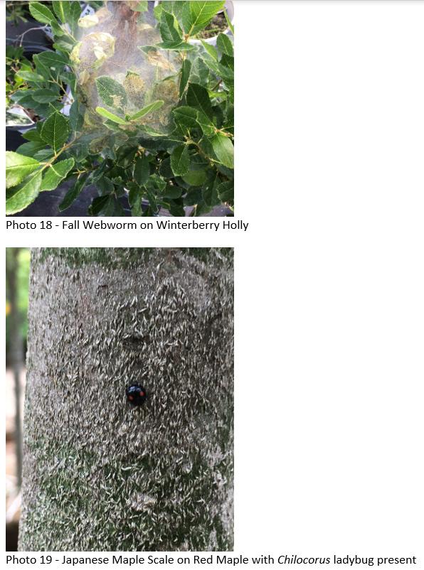 webworm