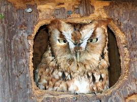Photo of: Owl in nest box