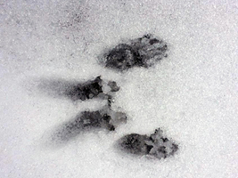 Photo of: Squirrel tracks in the snow