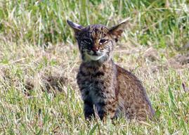photo of bobcat kitten