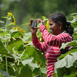 Photo of woman photographing sunflowers