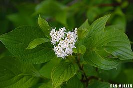 Photo of white dogwood flower