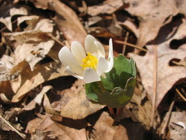 Photo of bloodroot