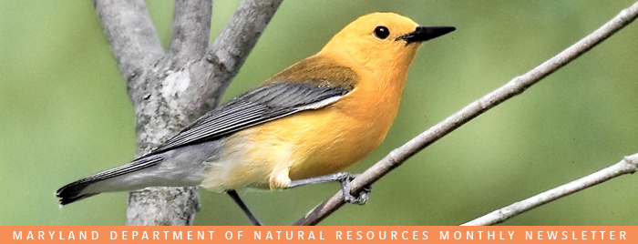 Photo of prothonotary warbler
