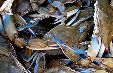 Photo of blue crabs