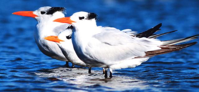 Photo of royal tern