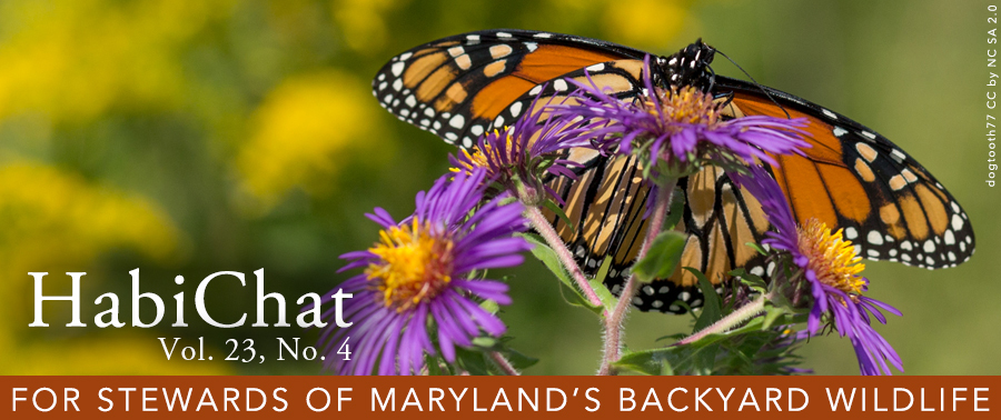 Photo of monarch butterfly on New England aster flower