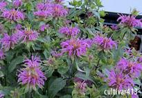 Photo of monarda cultivar