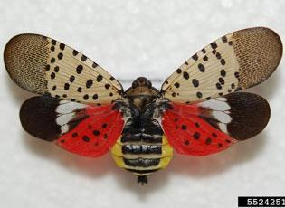Photo of spotted lanternfly
