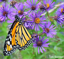Photo of monarch on New England aster