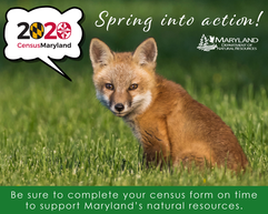 Photo of young fox in spring