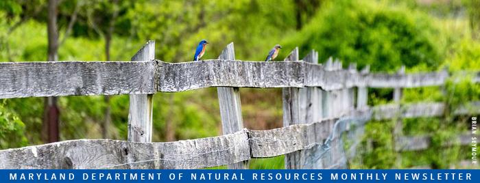 Photo of bluebirds sitting on fence
