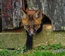 Photo of fox cub exiting old barn through hole