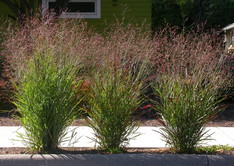 Photo of switchgrass