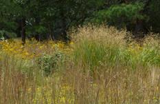 Photo of switchgrass and bluestem meadow