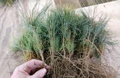Photo of pine seedlings