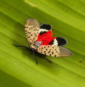 spottedlanterncrop