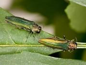 emeraldashborer