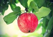 Image of Apple on Tree
