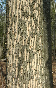 Woodpecker feeding signs highlight an emerald ash borer infested tree. (C. Donahue, MFS)