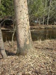 Woodpecker Feeding Signs on Ash