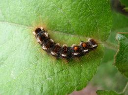 Browntail Moth Caterpillar