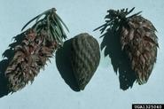 Pine leaf adelgid galls, bugwood.org