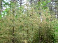 White pine needle damage, Bethel, ME
