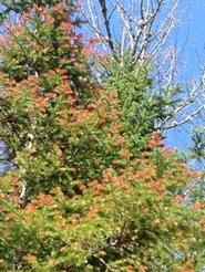 Winter drying injury on balsam fir.  L. Beauregard photo