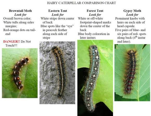 Hairy caterpillar comparison chart, MFS