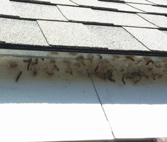 Larvae forming cocoons under eaves
