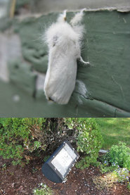 Browntail Moth Adults in Augusta, 2016