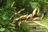 Cherry scallop shell moth webs