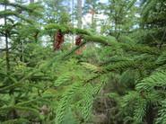 Pine leaf adelgid galls on spruce (Photo MFS)