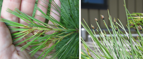 Pine leaf adelgid adults on needles and nymphs on twigs of eastern white pine (Photos MFS)
